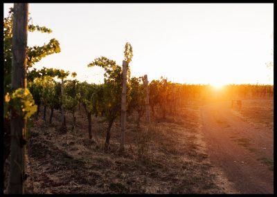 Träd vingård i solnedgång