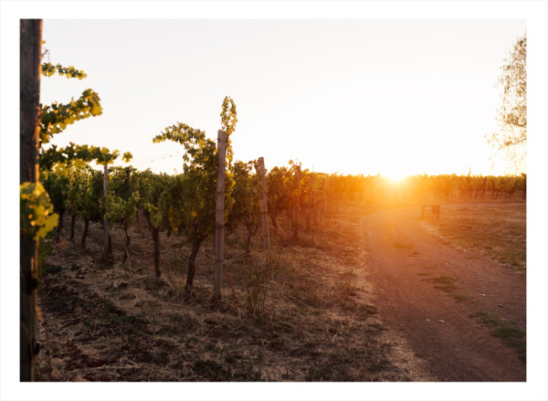 Vingård i Chile med träd i solnedgången
