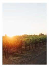 Träd på en vingård i solnedgång. Chile