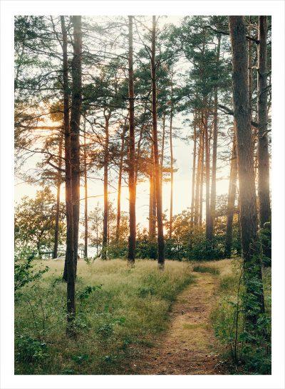 Skog där solstrålarna kommer genom trädstammarna