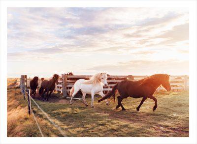 isländska hästar mustanger som springer