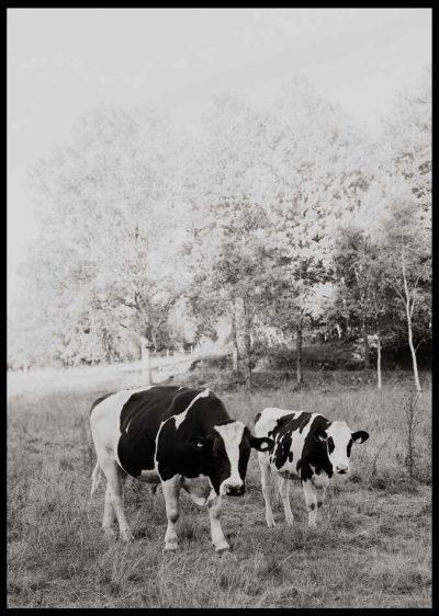 Ko på fält i svartvitt
