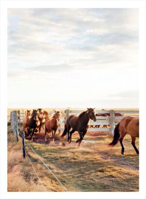 Isländska hästar springer ut från sin hage
