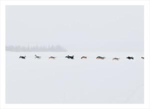 lång rad av springande hundar med släde