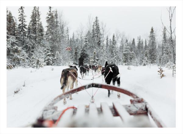 Siberian husky hundar som springer framför en släde
