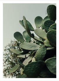 Kaktusar på nära håll
