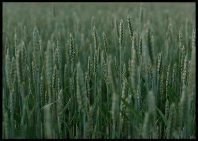 Inramad med svart ram en poster av ett grönt vetefält