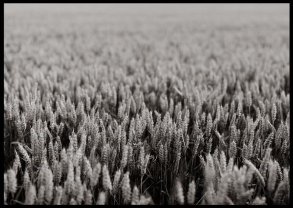 Inramad med svart ram en poster av ett svartvitt fält med vete