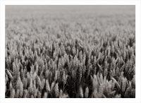 Ett svartvitt fält med vete