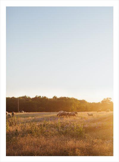 Stort fält med gräs i solnegången på gotland