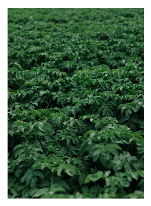 Potatisland som är grönt
