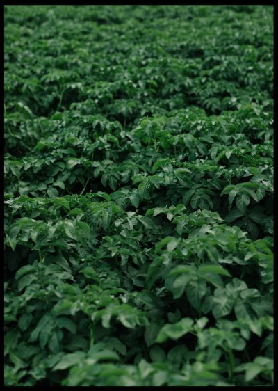 Inramad med svart ram en poster av ett grönt potatisfält