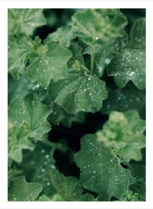 Gröna blad med vattendroppar
