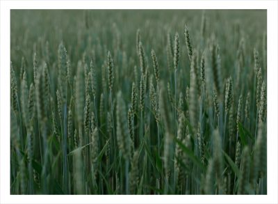Ett grönt fält med vete